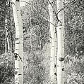 Three Aspen Trees by David Waldrop