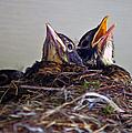 Three Baby Robins by Randy Harris