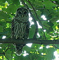 Three Barred Owls by Lainie Wrightson