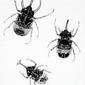 Three Beetles X-ray by Ted Kinsman