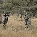 Three Beisa Oryxes In Kenyas Samburu by Roy Toft