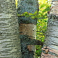Three Birch Tree Trunks