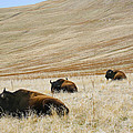 Three Bison by Marilyn Hunt