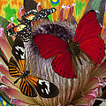Three Butterflies On Protea by Garry Gay