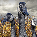 Three Canada Geese In An Autumn Cornfield by Randall Nyhof