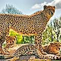 Three Cheetahs by Chris Thaxter