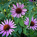 Three Coneflowers by Steve McKinzie