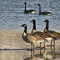 Three Geese by Alan Hutchins