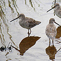Three Long Billed Dowitchers by Roena King