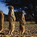 Three Meerkats With Paws Poised Neatly by Mattias Klum