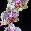 Three Orchids by Garry Gay