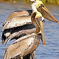 Three Pelicans On A Stump by TJ Baccari