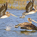 Three Pelicans Taking Off by TJ Baccari