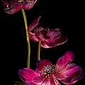 Three Purple Anemones by Ann Garrett