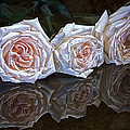 Three Roses Still Life by Tom Mc Nemar