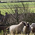 Three Sheep In A Field With Stone by Axiom Photographic