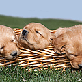 Three Sleeping Puppy Dogs In Basket by Cindy Singleton