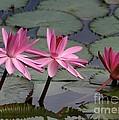 Three Sweet Pink Water Lilies by Sabrina L Ryan