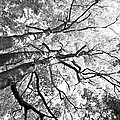 Three Trees Reach For The Sky Black And White by LeeAnn McLaneGoetz McLaneGoetzStudioLLCcom