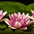 Three Water Lilies by Susan Candelario
