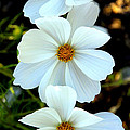 Three White Flowers by Steve McKinzie