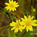 Three Yellow Amigos  by Jeff Swan