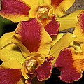 Three Yellow And Red Orchids by Phyllis Denton
