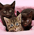 Threee Kittens In A Pink And White Basket by Susan Schmitz
