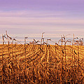 Through The Cornfield by Rachel Cohen