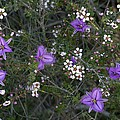Thysanotus Patersonii And Leptospermum by Bob Gibbons