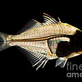 Tibetan Glassfish by Raul Gonzalez Perez