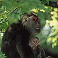 Tibetan Macaque Nursing Baby by Cyril Ruoso