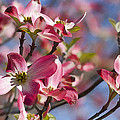 Tickled Pink Dogwood by Kathy Clark