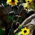 Tickseed Sunflowers by Aaron Burrows