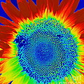tiedyed Sunflower by Paul Wilford