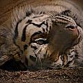 Tiger 3 by Marcie Glass