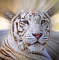 Tiger Blur by Steve McKinzie