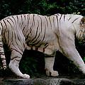 Tiger by Chua  ChinLeng