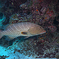 Tiger Grouper Swimming Along The Bottom by Michael Wood