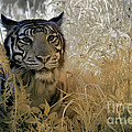 Tiger In Infrared by Keith Kapple