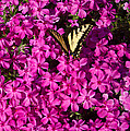 Tiger In The Phlox 5 by Douglas Barnett