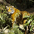 Tiger In The Rough by Jon Berghoff