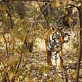 Tiger In The Undergrowth At Ranthambore by Axiom Photographic