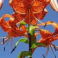Tiger Lily by Ausra Huntington nee Paulauskaite