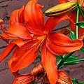 Tiger Lily by Denise Keegan Frawley