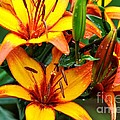 Tiger Lily by Terri Albertson