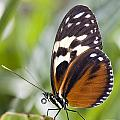 Tiger Longwing Butterfly Heliconius by Henry Georgi Photography Inc