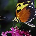 Tiger Longwing Butterfly by Natural Selection Ralph Curtin