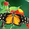 Tiger Longwing Heliconius Hecale by Michael & Patricia Fogden