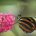 Tiger Longwing On Flower by Bill Tiepelman